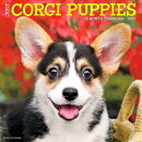 Just Corgi Puppies