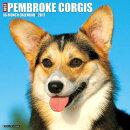 Just Pembroke Corgis
