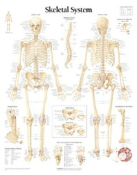 The_Skeletal_System_Chart