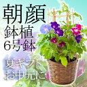 【お中元 2017 送料無料】朝顔 鉢植 サマーギフト