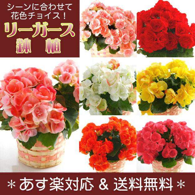 【送料無料 】 リーガース 鉢植え 花ギフト 【楽ギフ_メッセ】【RCP】 プレゼント お祝い
