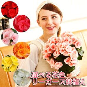ふっくらと、やさしい花のリーガース・ベゴニアの鉢花です。6色から選べます。