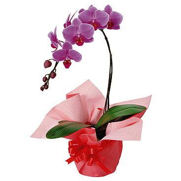 【送料無料】 ミディ 胡蝶蘭 (ウエディングプロムナード) 1本立 鉢花ギフト 【楽ギフ_メッセ】【RCP】