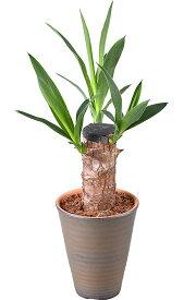ミニ 観葉植物 陶器 鉢植え 幸福の木 青年の木 パキラ テーブルヤシ インテリア グリーン 誕生日 お祝い プレゼント 送料無料