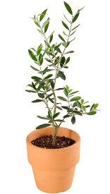 オリーブ 4号鉢 鉢植え 選べる 品種 オリーブの木 プレゼント ギフト 観葉植物 インテリア グリーン 送料無料 あす楽