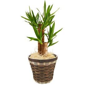 選べる 観葉植物 6号鉢 幸福の木 マッサン 青年の木 ユッカ オーガスタ モンステラ 鉢植え 花 ギフト 後払 送料無料