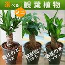 【送料無料】選べる ミニ 観葉植物 4号 陶器鉢 幸福の木 マッサン 発財樹 パキラ 青年の木 ユッカ 【楽ギフ_メッセ】…