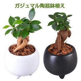 ガジュマル 多幸の木 陶器 鉢植え 観葉植物 インテリア グリーン 誕生日 お祝い プレゼント