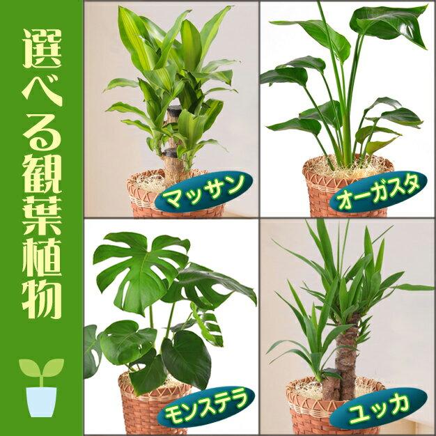 選べる 観葉植物 6号鉢 幸福の木 マッサン 青年の木 ユッカ 旅人の木 オーガスタ モンステラ 鉢植え 花 ギフト 後払 送料無料