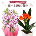 あす楽 14時まで デンドロビウム 君子蘭 万両 鉢植え 花 ギフト プレゼント 3種から選べる冬の花 お花 5号鉢 鉢花 花…