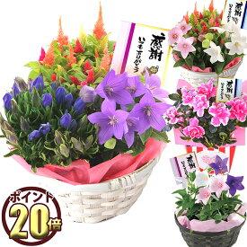 敬老の日 あす楽 花 ギフト プレゼント 秋の花鉢選べる4種 生花 フラワーギフト 鉢植え リンドウ ケイトウ 桔梗 アザレア