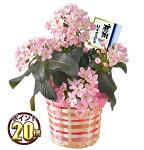 かわいいピンクの花と香りを楽しむ♪におい桜