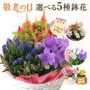 あす楽14時まで! 敬老の日 花 ギフト プレゼント 5種から選べる お花 リンドウ 桔梗 ケイトウ カランコエ 鉢植え 鉢花…