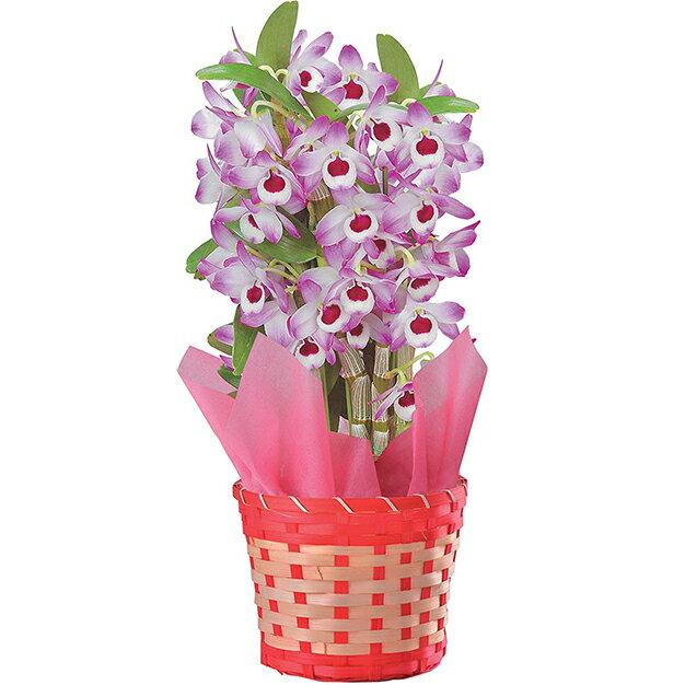 デンドロビューム 洋蘭 鉢植え 歳暮 冬ギフト 誕生日 花 ギフト プレゼント 送料無料