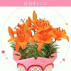 【おかあさん】ありがとうの気持ちを込めて!「母の日」に百合チェリーレッドを贈ってみてはいかがでしょう?送料無料です!