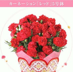 2017花ギフト選べる花色百合鉢植え送料無料母の日ギフトプレゼント鉢植え鉢花