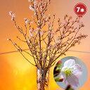 桜 7本 花束 切花 フラワーギフト 生花 さくら 花 誕生日 お祝い プレゼント お花見