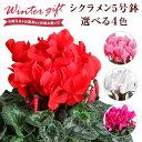 あす楽 14時まで シクラメン 鉢植え 花 ギフト プレゼント 4種から選べる花色 お花 赤 ピンク 紫 白 5号鉢 鉢花 花鉢 …
