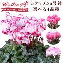 シクラメン 鉢植え 花 ギフト プレゼント 4種から選べる品種 お花 ビクトリア ピアス リップスピンク 5号鉢 鉢花 花鉢…