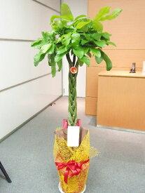 パキラ〜記念樹〜 150cm 9000円税込