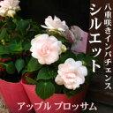 八重咲き インパチェンス シルエット