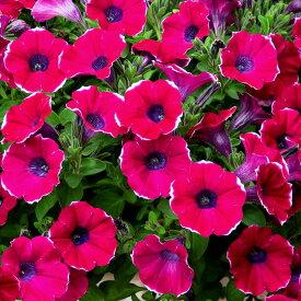 斑入り花 栄養系 ペチュニア 紅色小町 藤色小町 花苗 9cmポット