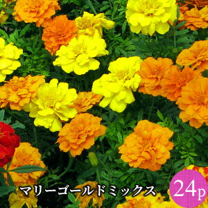 マリーゴールド フレンチ種 専門店向け 花苗 24ポットミックス セット[春苗一年草]