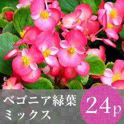 なごみ ベゴニア 緑葉 花苗 24ポットミックス