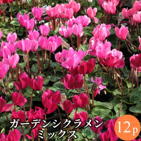 ガーデンシクラメン ミニ シクラメン花苗 12ポットミックス セット[冬一年草]