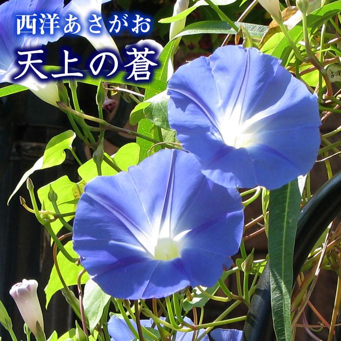 【予約】【緑のカーテン】 早咲き 西洋アサガオ『天上の蒼』