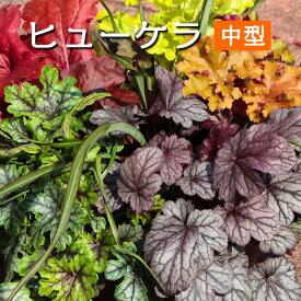 【ポイント3倍】ハルディン ヒューケラ カラーリーフ苗【中型品種】3号[春苗予約]