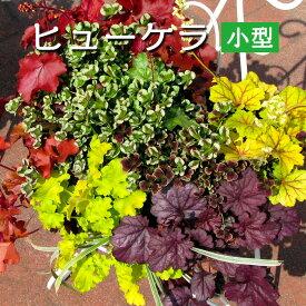 ヒューケラ カラーリーフ苗【小型品種】寄せ植えハンギング向け 3号[春苗予約]