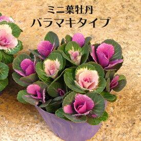 寄せ植え ミニ 葉牡丹 バラマキ ハボタン 専門店用苗 3.5号 多粒まき