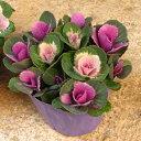 寄せ植え ミニ 葉牡丹(スプレー/バラマキ ハボタン)専門店用苗3.5号(10.5cm)サイズ
