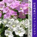 杉井明美のペチュニア さくらさくら/おゆきちゃん 花苗 3.5号