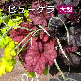 ヒューケラ カラーリーフ苗【大型品種】3号[秋苗予約]