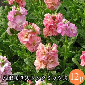 ストック 八重咲 矮性種 花苗 12ポットミックス セット