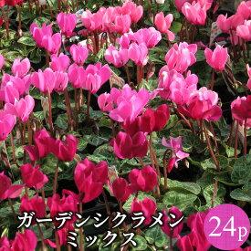 ガーデンシクラメン ミニシクラメン花苗 24ポットセット