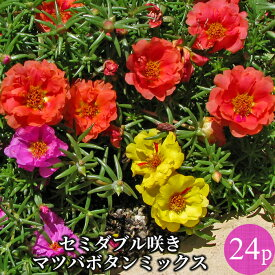 松葉ボタン セミダブル咲き 花苗24ポットミックス[夏一年草]