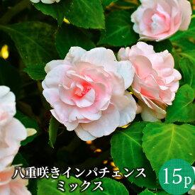【ポイント3倍】八重咲きインパチェンス 薔薇咲き 花苗15ポットミックスセット