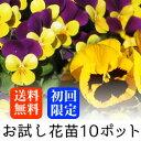 【初回限定 送料無料】お試し ビオラ OR パンジー 花苗 10ポットミックス