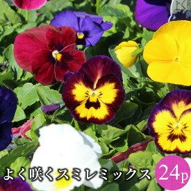 よく咲くスミレ 中輪パンジー 花苗 24ポットミックス セット