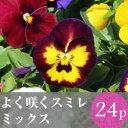 (予約)★★よく咲くスミレ 花苗 24ポットミックス