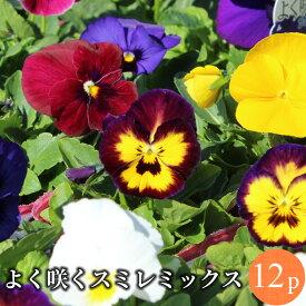 よく咲くスミレ 中輪パンジー 花苗 12ポットミックス