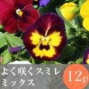 (予約)◎◎よく咲くスミレ花苗 12ポットミックス