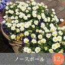 (予約)◎◎クリサンセマム ノースポール 花苗 12ポットミックス