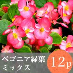 なごみ ベゴニア 緑葉 花苗 12ポットミックス