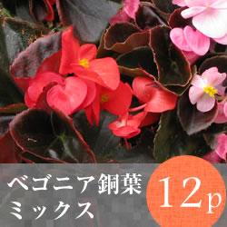ベゴニア 銅葉 花苗12ポットミックス