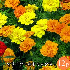 マリーゴールド フレンチ種 専門店向け 花苗 12ポットミックス セット[春苗一年草]