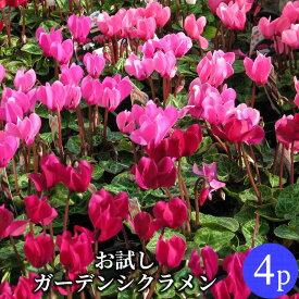 ガーデンシクラメン ミニシクラメン花苗 【少量お試し】4ポットミックス